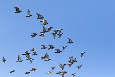 flock of speed racing pigeon bird flying against clear blue sky Stok Fotoğraf - 119352350