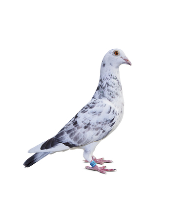 full body of grizt color speed racing pigeon bird isolate white background Stock Photo