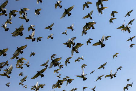 flock of speed racing pigeon bird flying against clear blue sky Reklamní fotografie