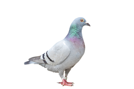 full body of speed racing pigeon bird standing isolate white background 版權商用圖片