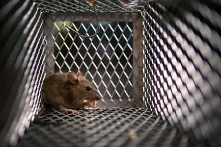 one rat eating something in metal trap
