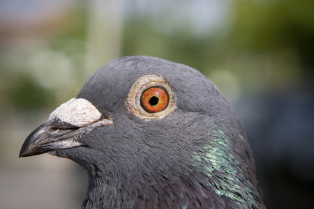 close up detail of homing pigeon bird with natural sun light Imagens - 121578553