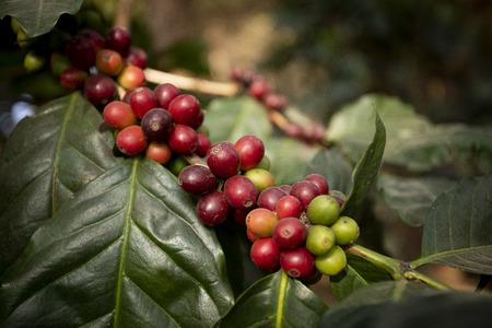 close up green yellow and red of organic coffee seed on tree branch Stockfoto
