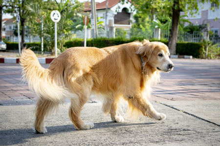 full body of old male golden retriever dog walking on village street Imagens - 121580369