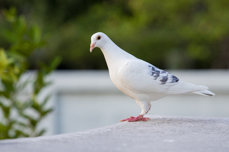 white feather of speed racing pigeon standing on home loft roof Stockfoto