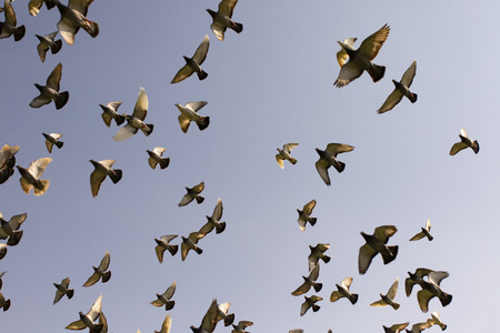 flock of speed racing pigeon bird flying against clear blue sky Stockfoto