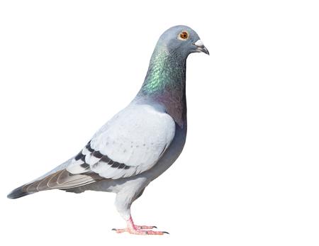 Ganzkörperseitenansicht des Speed Racing Taubenvogels auf weißem Hintergrund isolieren Standard-Bild