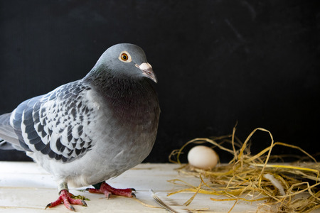 pigeon laying egg in home loft