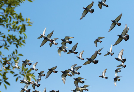 flock of speed racing pigeon bird flying against clear blue sky 写真素材