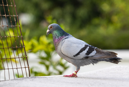 full body of speed racing pigeon bird standing on home loft roof Imagens - 121580674