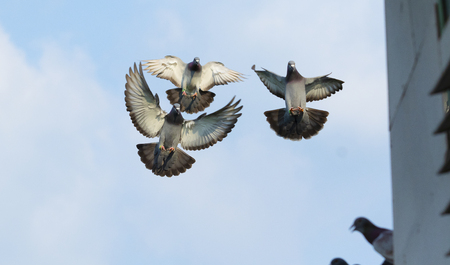 flock homing pigeon bird flying mid air