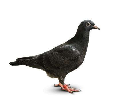 corpo pieno di piccione da corsa di velocità di piuma nera in piedi su sfondo bianco Archivio Fotografico