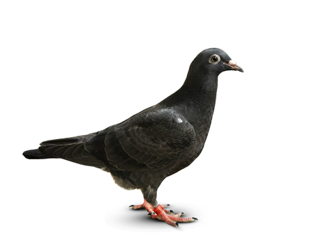 full body of black feather speed racing pigeon standing on white background