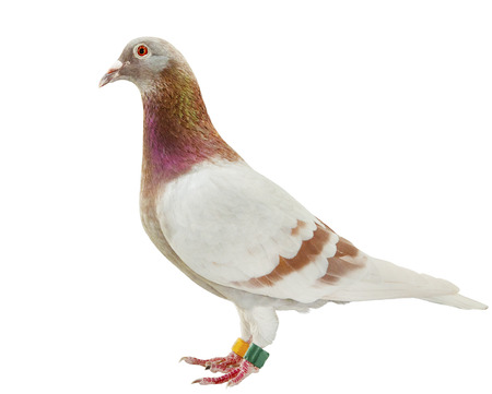 full body of red mealy feather of speed racing pigeon isolate white background