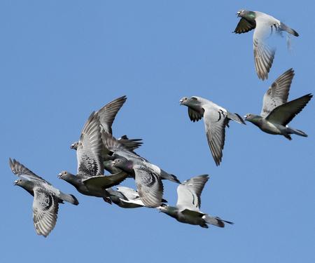 Bandada de palomas de carreras de velocidad volando contra el cielo azul claro Foto de archivo