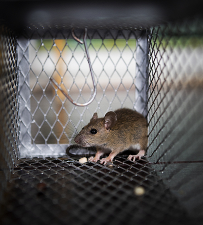 A rat eating something in metal trap Stockfoto