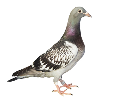 Full body of speed racing pigeon isolated on a white background Banco de Imagens - 121936877