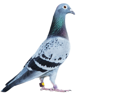 Portrait full body of speed racing pigeon isolated on a white background Stockfoto