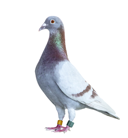 Portrait full body of speed racing pigeon red choco color isolated on a white background Banco de Imagens - 121936881