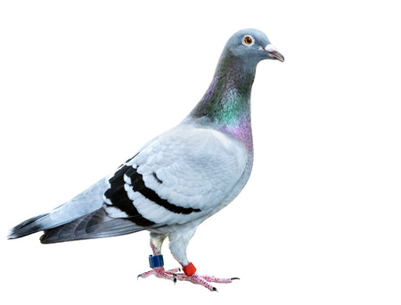 Full body of speed racing pigeon bird isolated on a white background Imagens - 121936882