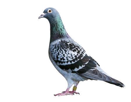 checker feather pattern of homing speed racing pigeon isolate white background 版權商用圖片