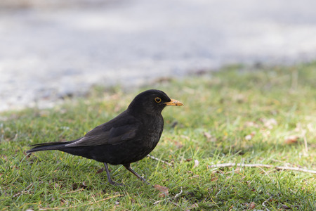 new zealand eurasian blackbird