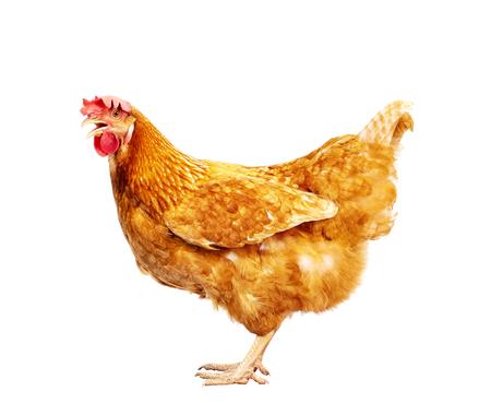 całe ciało brązowego kurczaka, kura stojąca na białym tle na białym tle do użytku dla zwierząt gospodarskich i inwentarza żywego