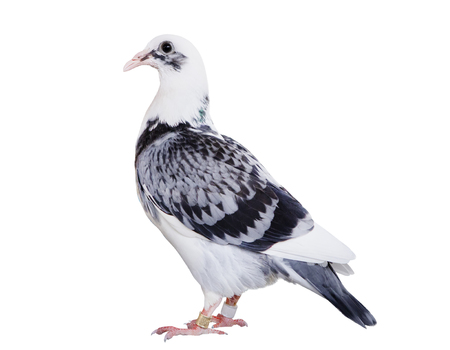 full body of speed racing pigeon bird standing isolate white background Stockfoto