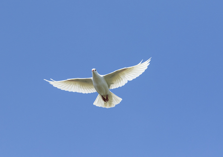 white feather homing pigeon bird flying against beautiful blue sky