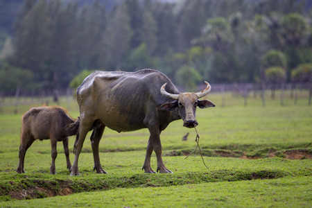 youngster water buffalo drinking milk on green grass field Imagens - 123581303