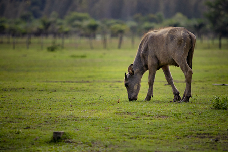 water buffalo eating grass on  countryside