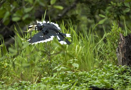 Oriental pied hornbill flying over green field