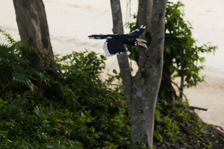 male oriental pied hornbill flying in tropical rain forest