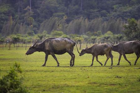 flock of water buffalo walking on farm field Imagens
