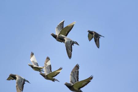 flock of flying speed racing pigeon against clear blue sky