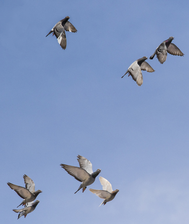 group of speed racing pigeon bird flying against clear blue sky Stok Fotoğraf
