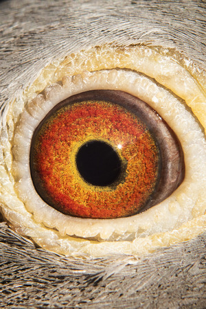 close-up detail of beautiful eyesight of homing pigeon
