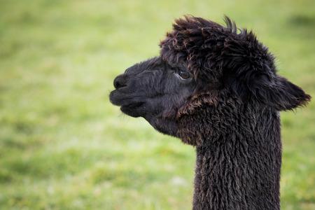 close up head shot of black alpaca in green field Imagens