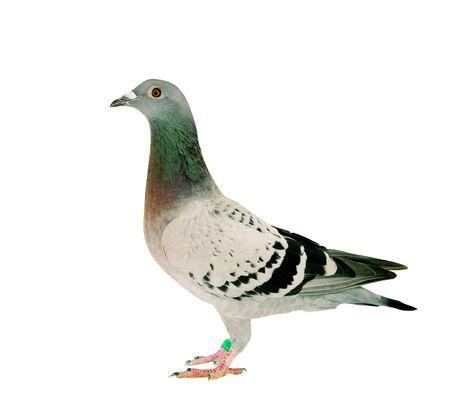 Todo el cuerpo de pájaro paloma de carreras de velocidad de pie aislar fondo blanco.