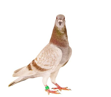 portrait full body of red mealy feather homing pigeon standing isolated white background Imagens