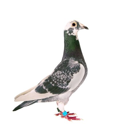 full body of speed racing pigeon bird standing isolate white background Banco de Imagens