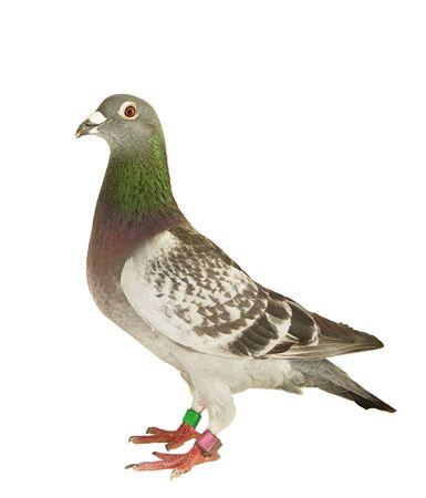 full body of speed racing pigeon bird standing isolate white background Imagens