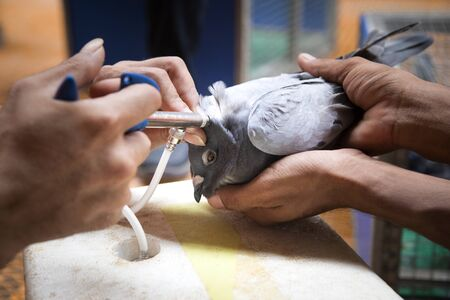 vaccine treatment on pigeon neck 版權商用圖片