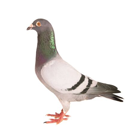 portrait full body of male speed racing pigeon bird isolate white background