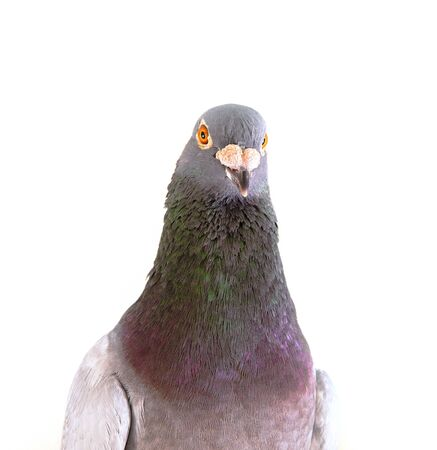 close up detail on male homing pigeon isolated white background