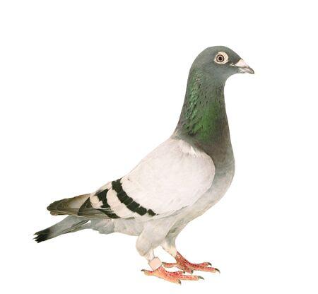 Ganzkörper von Speed Racing Taube Vogel stehend isolieren weißen Hintergrund