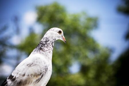 juvenile of homing pigeon standing again green blur background