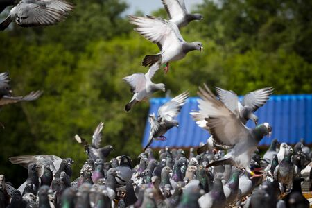 flock of speed racing pigeon bird flying at home loft Banco de Imagens