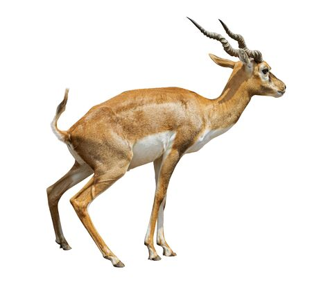 african antelope ,gazelle isolated on white background
