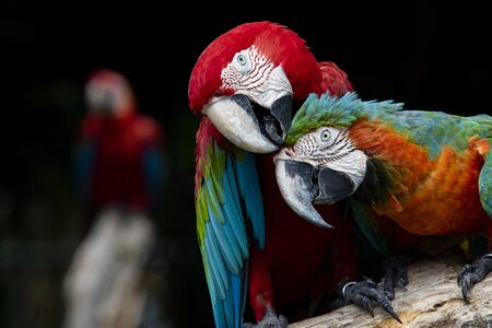 couples of red scarlet macaws birds perching on tree branch Фото со стока